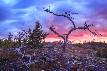 Dramatic skyes landscape. A curved dry old lonely tree against the backdrop of a sunset sky. Sky with clouds. Northern nature.  Stock Photo