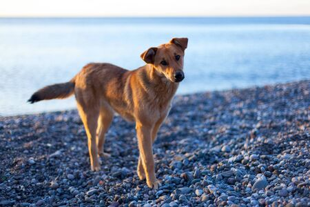 A stray dog with a sad kind look on the beach, the seashore. The problem of homeless animals. Mass destruction of stray dogs problem. Dog Shelter.