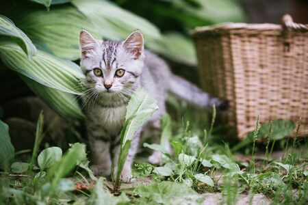 A cute gray kitten is playing in the garden. Blurred background.