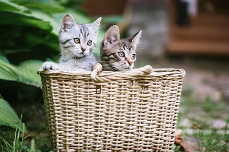 Two cute kittens look out of the basket. A non-pedigreed cat, blurred background. Pet care concepts. Imagens