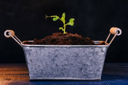 Sprout of a bean plant on a dark background. Seedling. Gardening theme. The zinced pot.