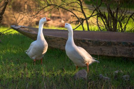 Life in the village. Two geese in nature. A wooden boat in the background. Organic Poultry Imagens