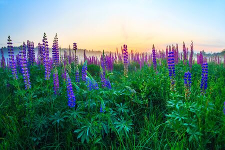 Flowering lupines, summer meadows at dawn.