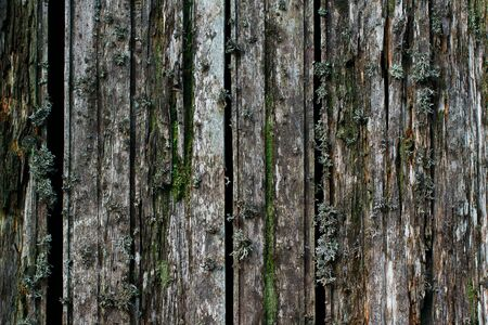 Texture of old wooden boards. Covered with moss and lichen old planks. Grungy wood surface