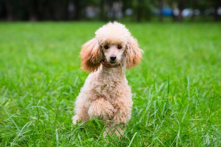 the poodle is walking on the green grass. Home pets in nature.
