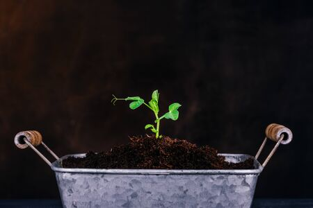 Sprout of a bean plant on a dark background. Seedling. Gardening theme. The zinced pot. Copy space