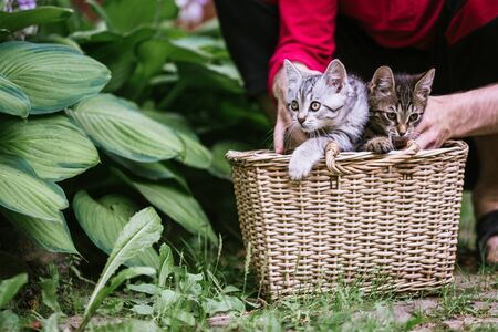 Men's hands hold kittens peeping out of the basket. Saving abandoned pets concept.