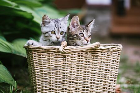 Two cute kittens look out of the basket. A non-pedigreed cats, blurred background. Pet care concept. Imagens