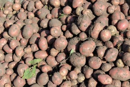 grade of red potatoes