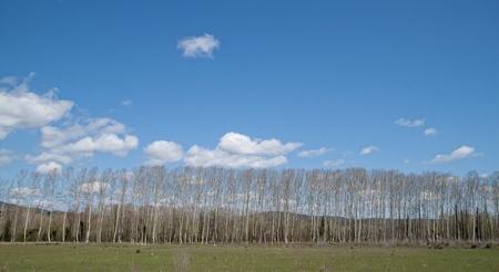poplars: valley landscape poplars