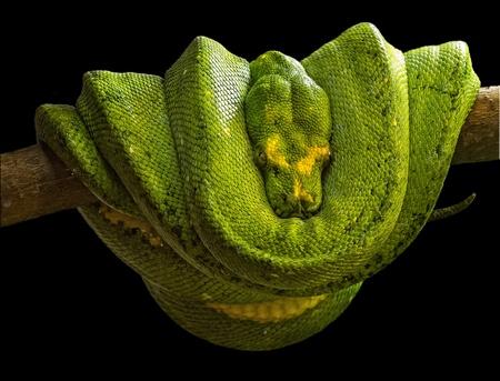 에메랄드 보아 (Corallus caninus)는 남아메리카의 열대 우림에 서식하는 비 독성 보아입니다. 현재 인식 된 아종이 없습니다. 스톡 콘텐츠