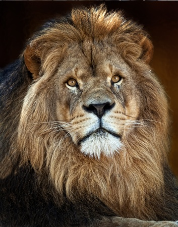 The lion (Panthera leo) is one of the four big cats in the genus Panthera, and a member of the family Felidae. With some males exceeding 250 kg (550 lb) in weigh Stock Photo
