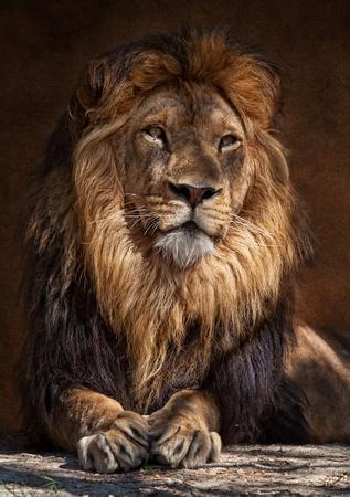 panthera: Il Leone (Panthera leo) � uno dei quattro grandi gatti del genere Panthera e un membro della famiglia Felidae. Con alcuni maschi superiore a 250 kg (550 lb) nel pesare