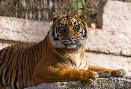 tigre: The Bengal tiger, or Royal Bengal tiger (Panthera tigris tigris), is a tiger subspecies native to India, Bangladesh, Nepal and Bhutan, and has been classified as endangered by IUCN as the population is estimated at fewer than 2,500 individuals with a decr