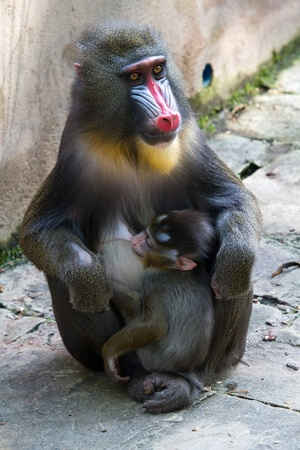 Mandrill female with her tiny newborn, when feeding your child.