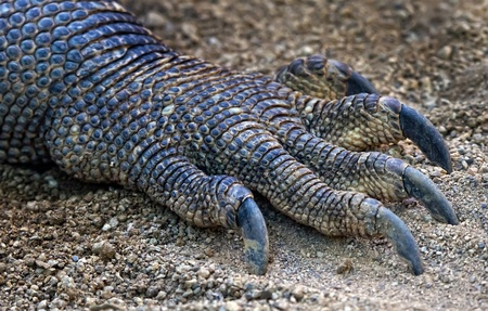 The claw belongs to the largest reptile lizard.