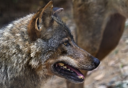 carnivora: The wolf Canis lupus is a member of the mammalian order known as Carnivora