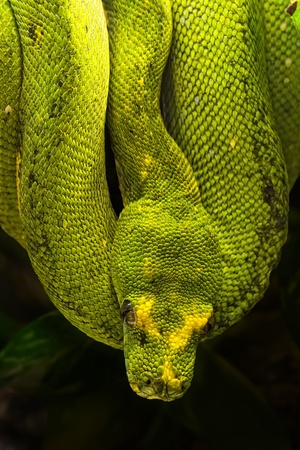 Morelia viridis, the green tree python, is a species of python found in New Guinea, islands in Indonesia, and Cape York Peninsula in Australia. photo