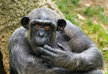 extant: Chimpanc�, a veces coloquialmente chimpanc�, es el nombre com�n para las dos especies de simios en el g�nero Pan
