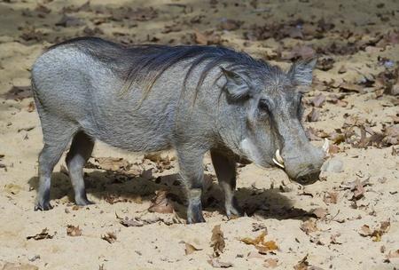 Warthog (Phacochoerus africanus)  photo