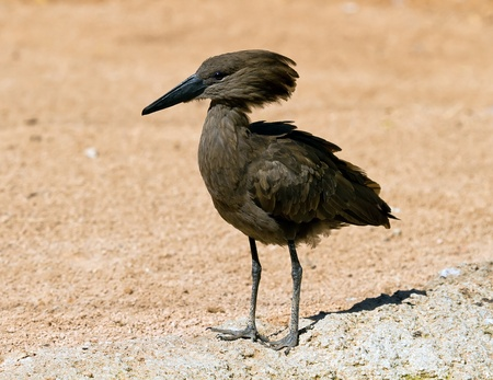 A Hamerkop, scopus umbretta bird standing on a rock seen from the front with feet details