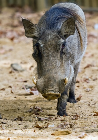 Warthog or Common Warthog, Phacochoerus africanus, is a wild member of the pig family  photo