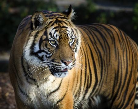 panthera tigris sumatrae: Closeup of Sumatran Tiger (Panthera tigris sumatrae)  Stock Photo