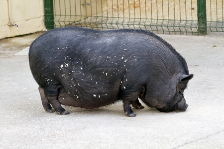 A Vietnamese pot bellied pig  photo