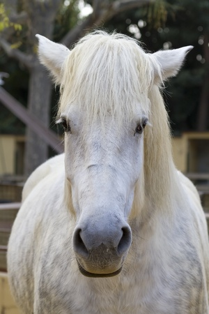 Snow white horse portrait  Stock Photo - 12034229