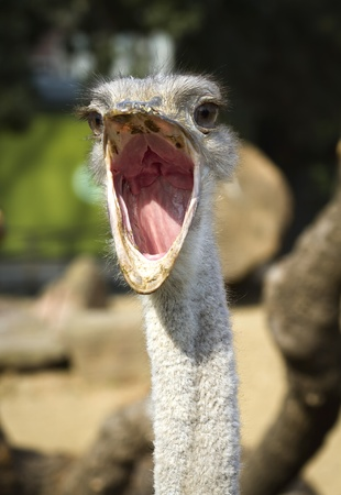 mouth opened: Close up portrait of ostrich , with beak open Stock Photo