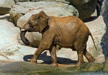 recently: African elephant, recently bathed.