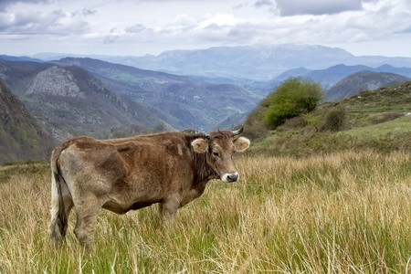 Cow on a pasture on a green grass, in  Asturias, Spain. Stock Photo - 13472185