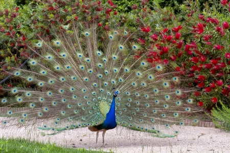 peacock showing its beautiful feathers, male Stock Photo
