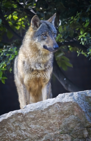The wolf Canis lupus is a member of the mammalian order known as Carnivora