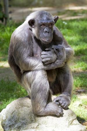 simia troglodytes: Closeup of chimpanzee Pan troglodytes, Vertical image position staring