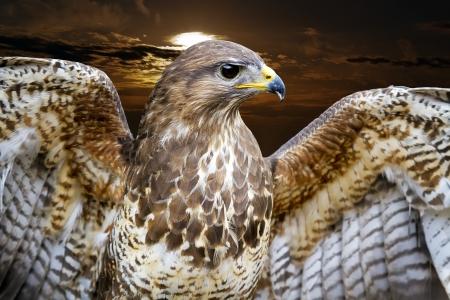 夕日を背景に開いて翼を持つ美しいノスリ鳥ノスリ ノスリ 写真素材 - 13936814
