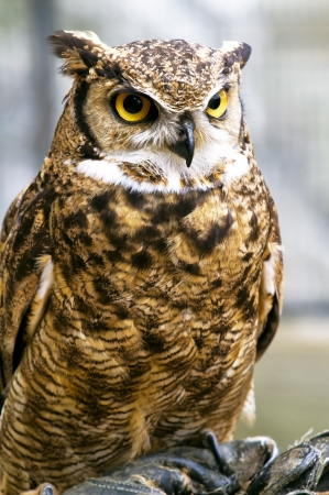 night owl: Beautiful raptor European eagle owl, Bubo bubo