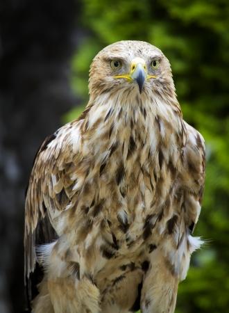 Eastern Imperial Eagle frontal closeup, Aquila Heliaca close up portrait