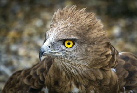 toed: Toed Eagle  Circaetus gallicus, close-up of the eagle