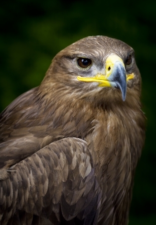 vigilant: close-up of a steppe eagle  Aquila nipalensis