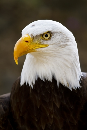 birds eye: Portrait of a bald eagle  lat  haliaeetus leucocephalus  Stock Photo
