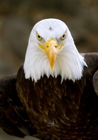 head close up: Portrait of a bald eagle  lat  haliaeetus leucocephalus  Stock Photo