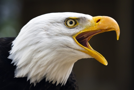 eagle feather: Portrait of a bald eagle  lat  haliaeetus leucocephalus  Stock Photo