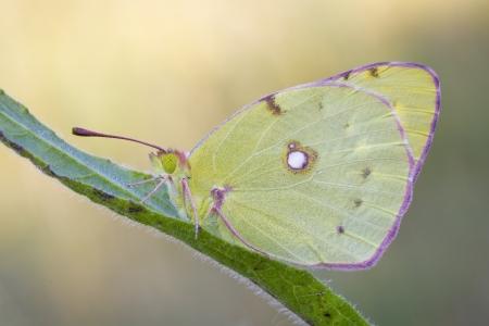 gonepteryx: butterfly lemon female Gonepteryx cleopatra