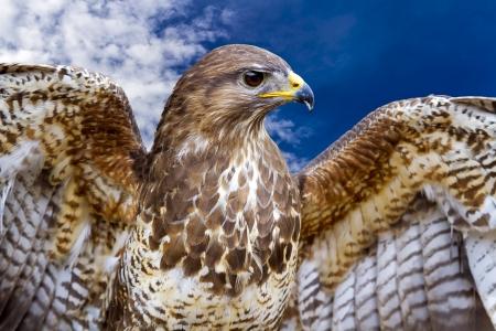 buzzard: Beautiful buzzard bird Buteo Buteo