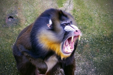 primates: The mandrill  Mandrillus sphinx  is a primate of the Cercopithecidae  Old-world monkeys  family