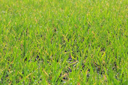 Fresh thick grass with water drops, Selective focus. photo