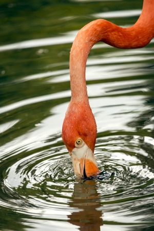 lesser: Detail of a flamingo drinking water in their natural habitat