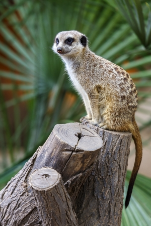 suricata suricatta: Meerkat, Meercat,  Surikate  standing upright as Sentry - Suricata suricatta  Stock Photo