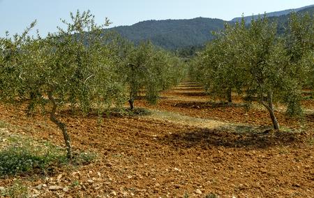 origin: Olive groves, designation of Catalan origin in Tarragona, the Spanish oil Stock Photo